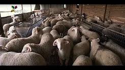 Kıvırcık Koyun Projesi