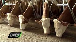 Aile İşletmesinde Süt Sığırcılığı