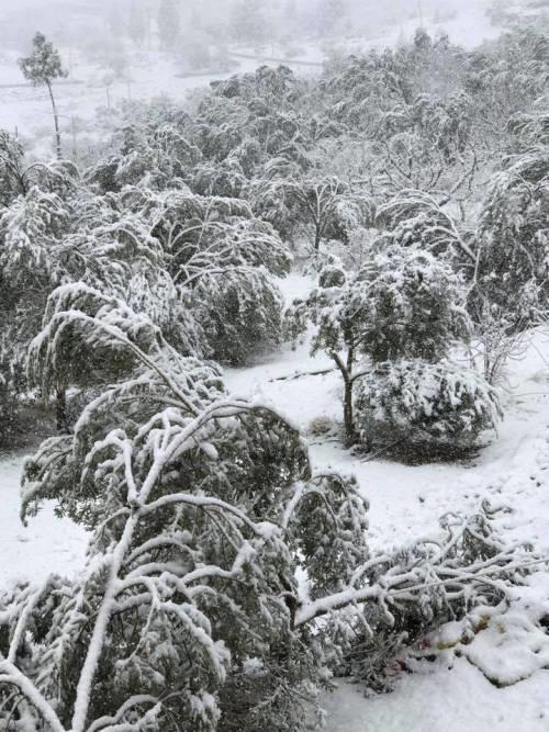 20 yıl sonra yağan kar zeytinleri vurdu