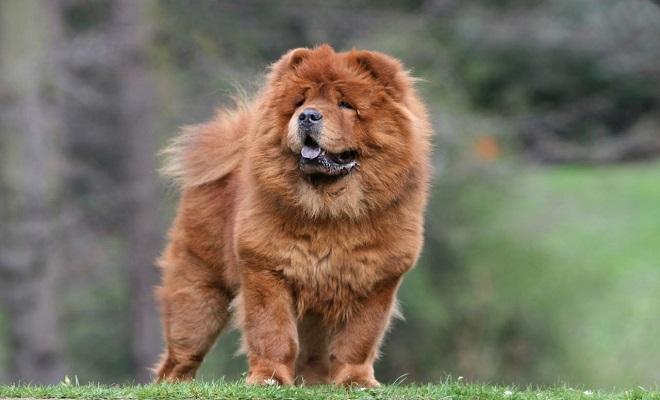 Çin Aslanı