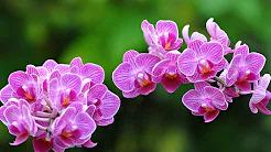 Orkide Yetiştiriciliği ve Bakımı