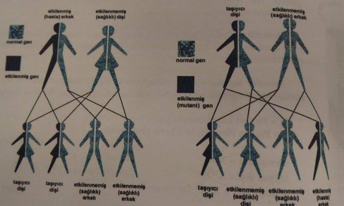 Kalıtsal Hastalıklar; Hemofili- Renk Körlüğü