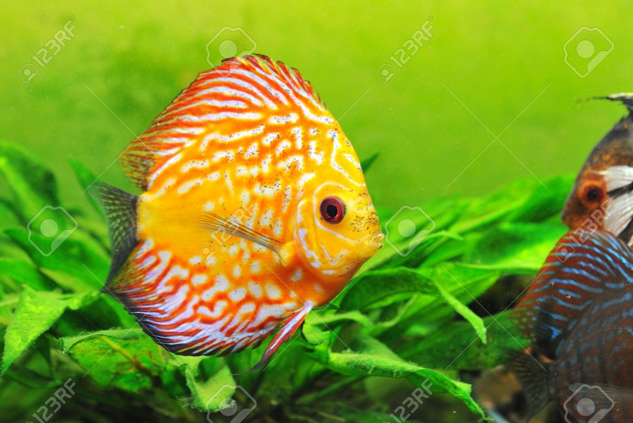 6974840 Portrait Of A Red And Yellow Tropical Symphysodon Discus Fish Stock Photo