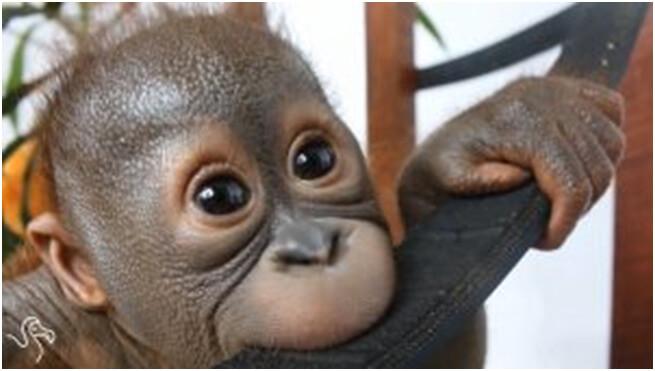 orangutan gito