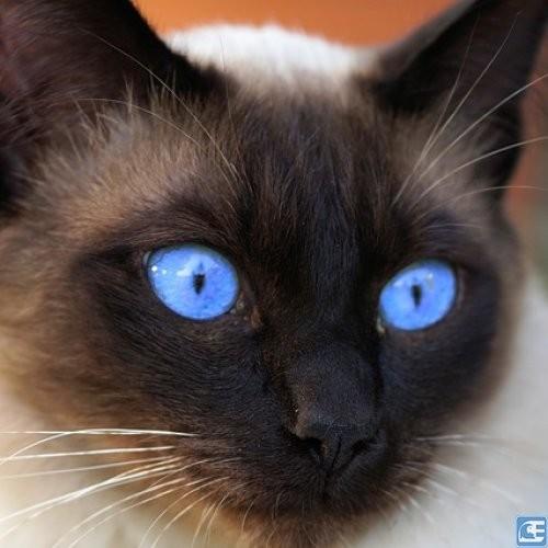 cikolata-tuylu-siyam-kedisi