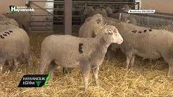 Gebelik Döneminde Koyunların Beslenmesi
