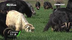 Şavak Irkı Koyunlar ve Kıl Keçisi Yetiştiriciliği