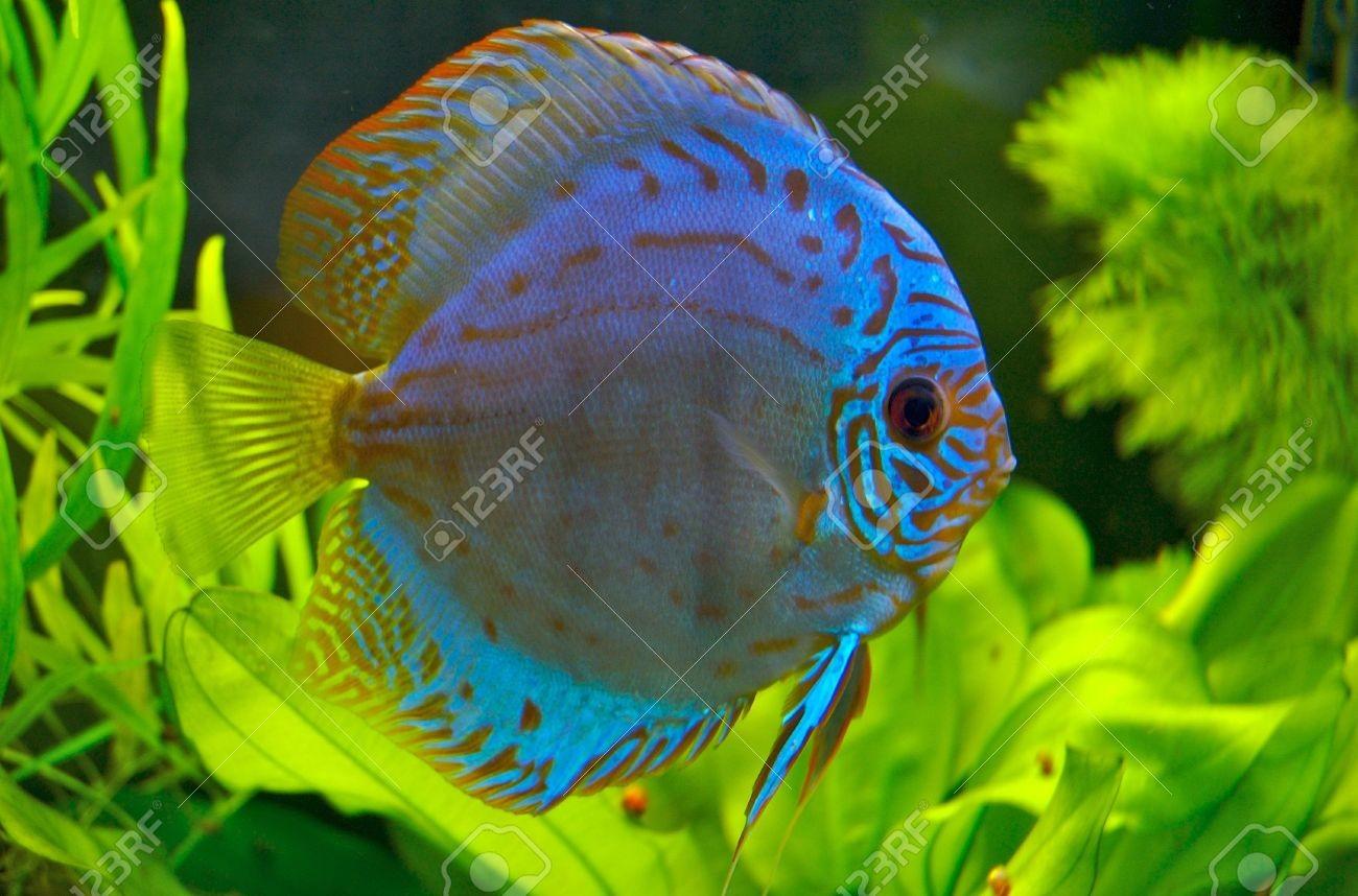 402669 Blue Discus Fish Stock Photo