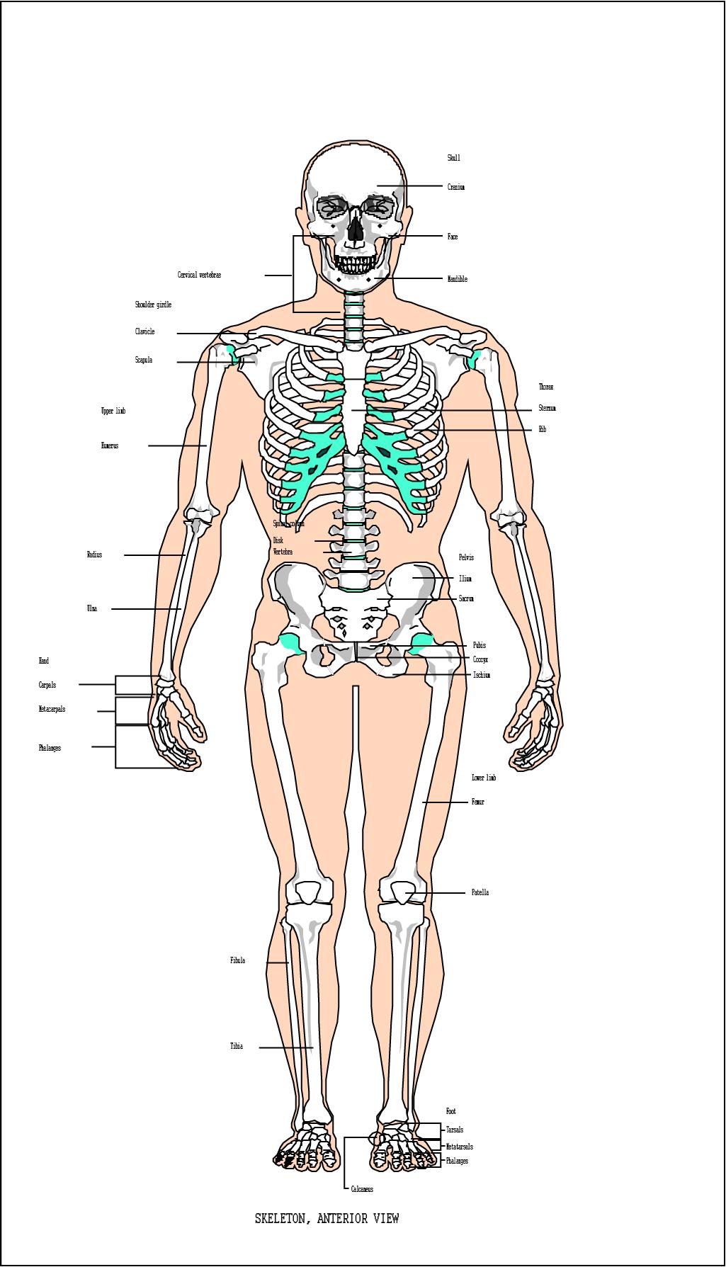İnsan Vücudu Anatomisi Vektör