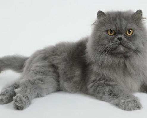 Blue Persian Cat 1 495X400