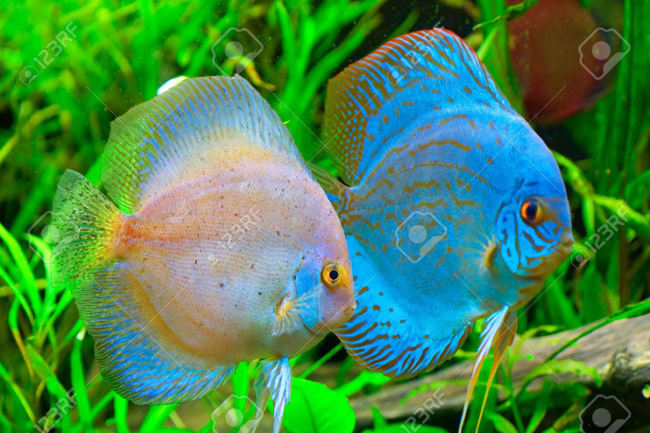 1573599 Discus Fish Symphysodon Aequifasciatus Stock Photo