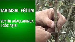Zeytin Ağaçlarında Göz Aşısı