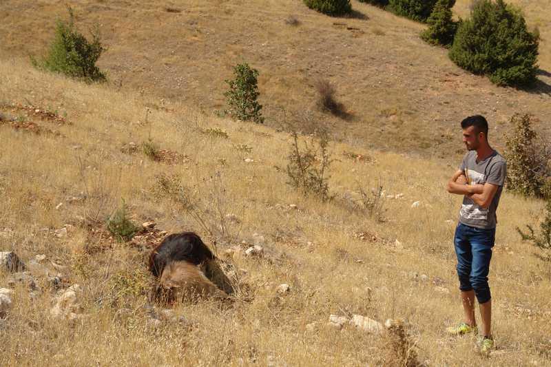 Kurtlar Keçi Sürüsüne Saldırdı ,29 Keçi Telef Oldu