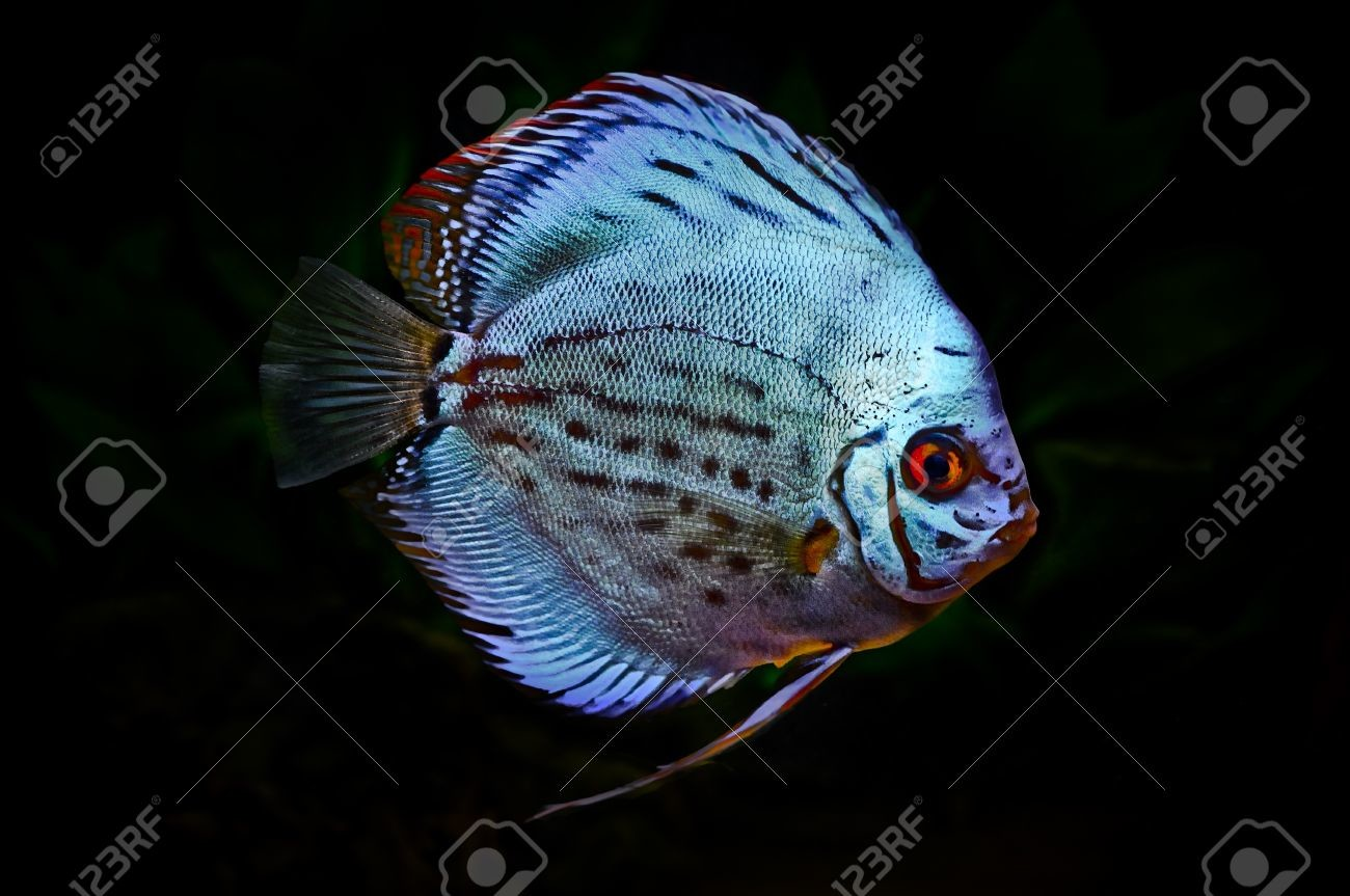 8540568 A Colorful Discus Fish On A Dark Background Stock Photo