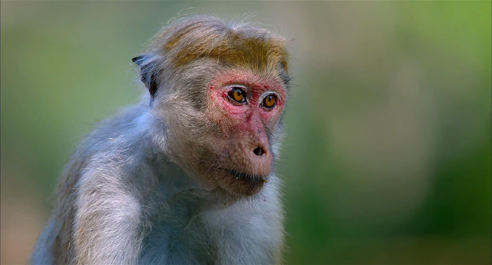 Maymun Krallığı 2015 belgesel indir