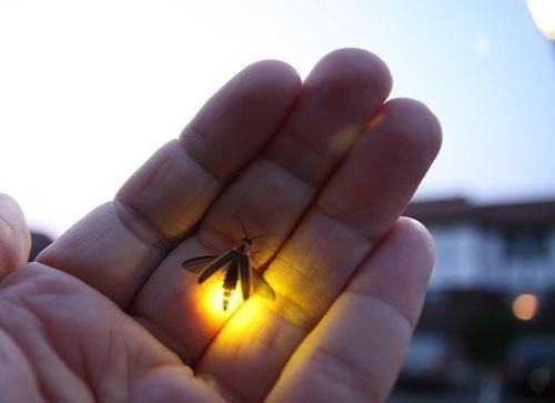 ateş böceği nasıl ışık saçıyor