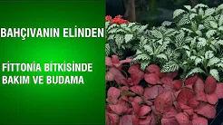 Fittonia Bitkisinde Bakım ve Budama