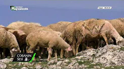 Kıvırcık Irkı Koyun Yetiştiriciliği