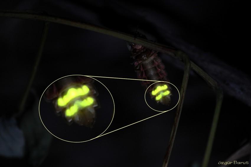 Ateş böceği ışık kaynağı mıdır