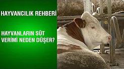 Hayvanların Süt Verimi Neden Düşer?