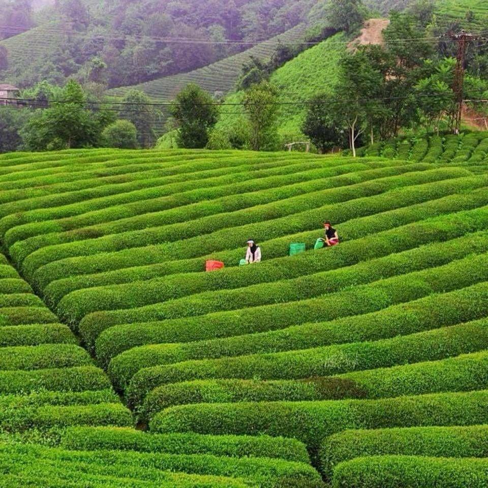 Rize çay tarlaları