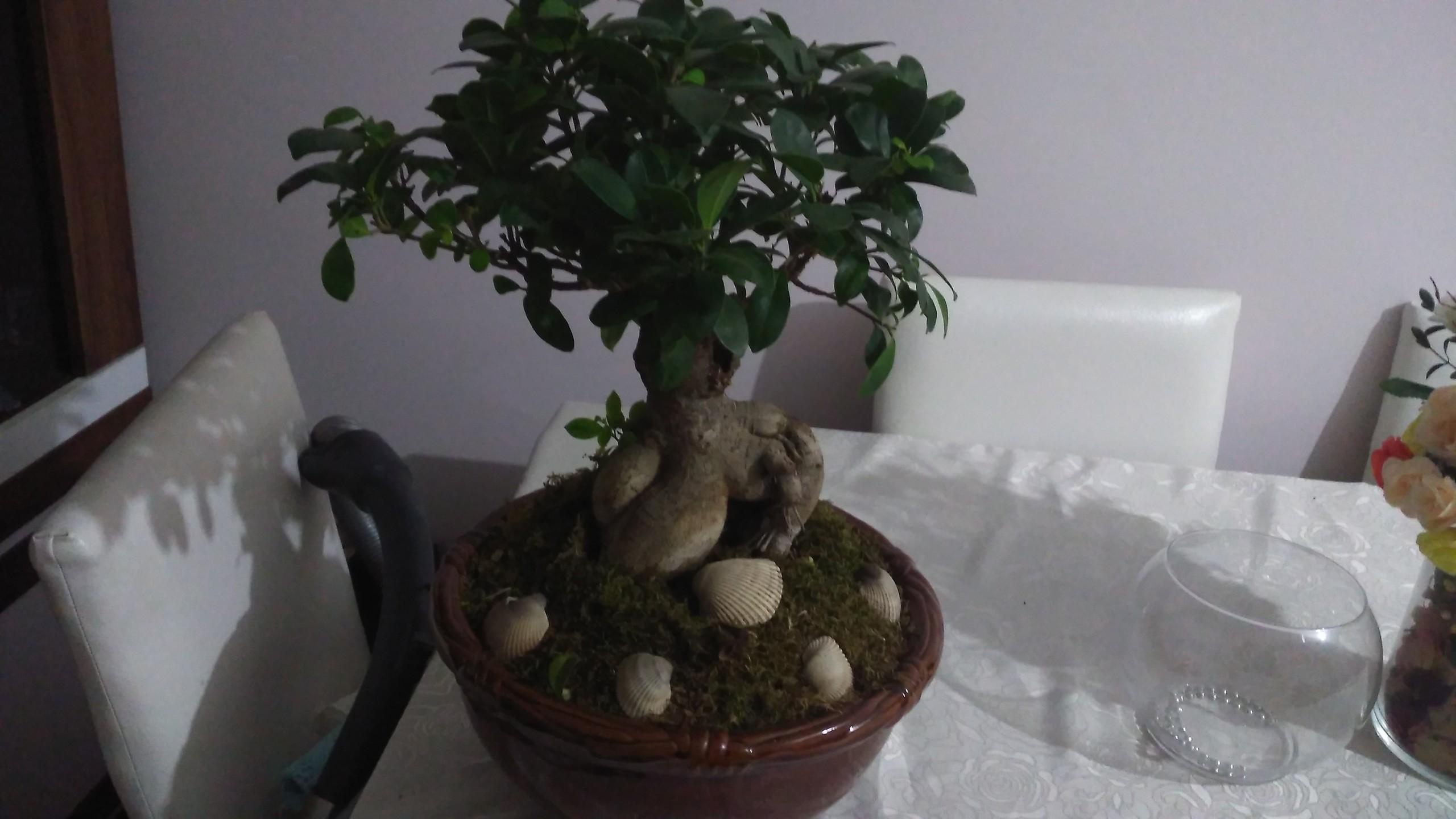 Ficus zehirli olup olmamalı ve nereye koymalı