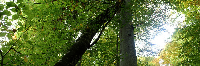 yedigöller anıt ağaç, yedigöller pisagor ağacı