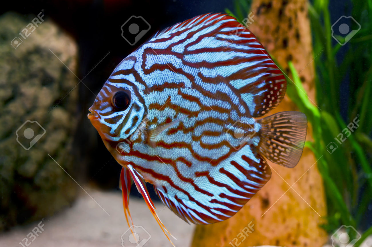 1606633 Colorful Tropical Symphysodon Discus Fish Stock Photo