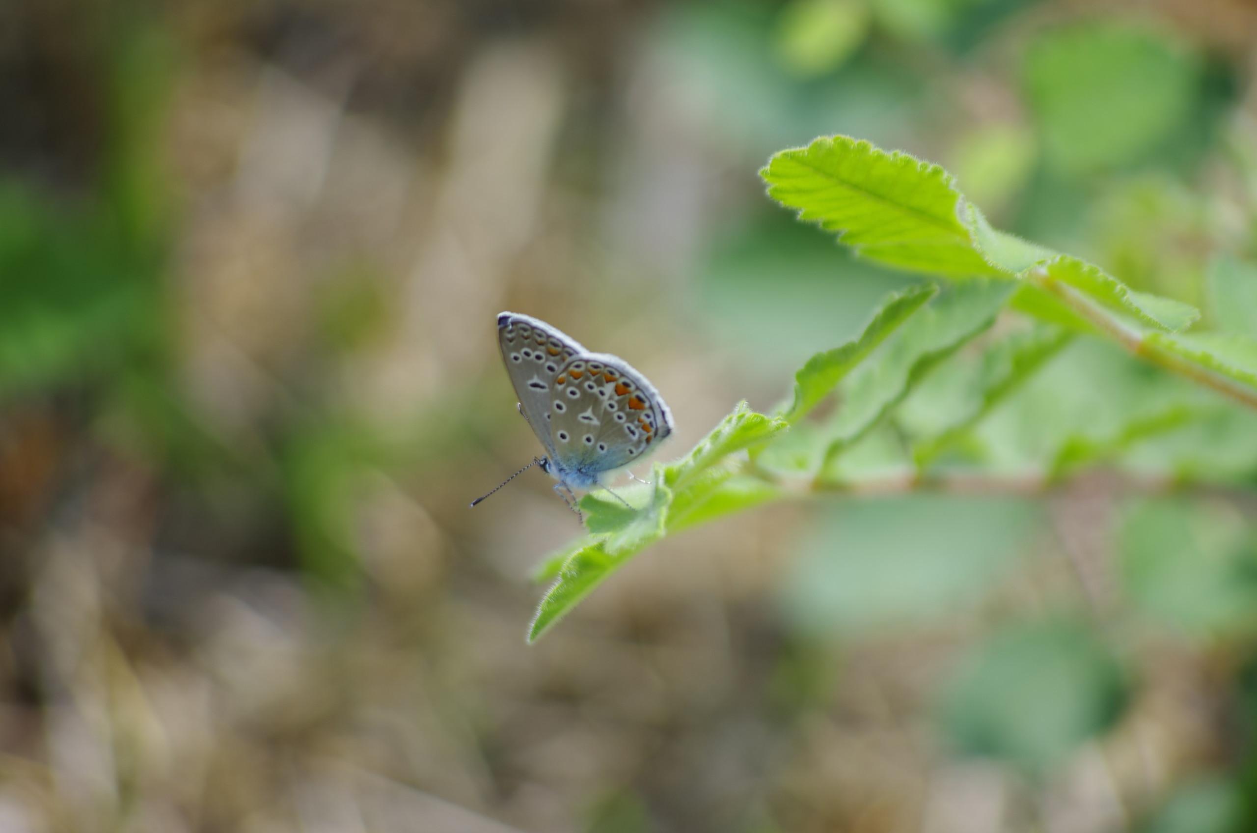 28 8 2016 K5 2S Pentax Dal 55 300 Japon Bahçesi Kelebek (6)