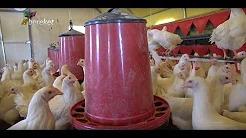 Çadırda Tinted Irkı Tavuk Yetiştiriciliği