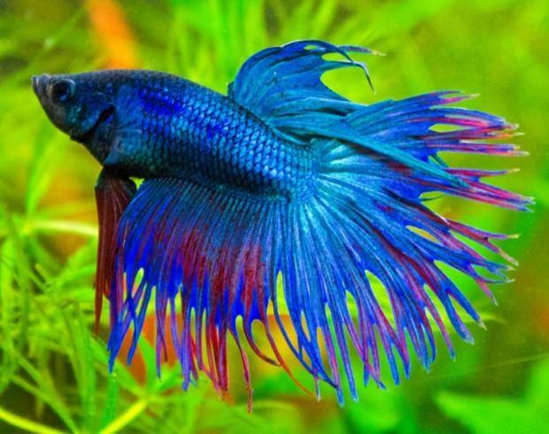 beta-balıgi-hangi-balıklar-ile-bakılabilir