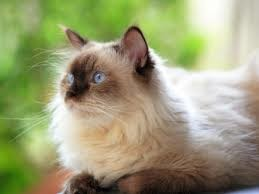 himalaya-siyam-kedisi