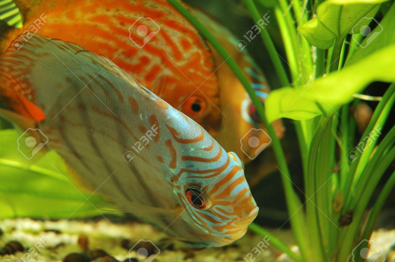 473628 Discus Fish In Tank Stock Photo