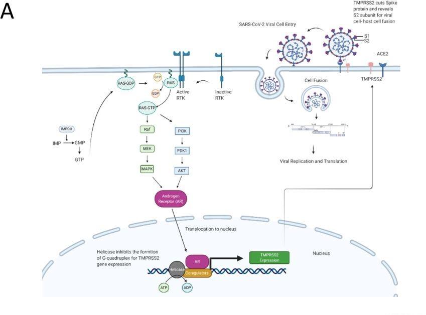 SARS-CoV-2'nin Hücreye Girişi A