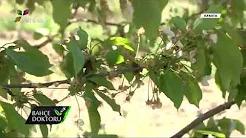 Döllenme Problemi Olan Bahçelerde Yapılması Gerekenler