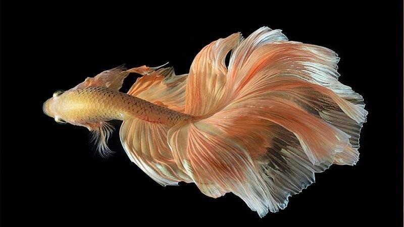 beta-balıkları-hastalıkları