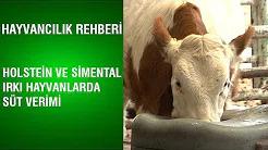 Holstein ve Simentalle Irkı Süt Verimi