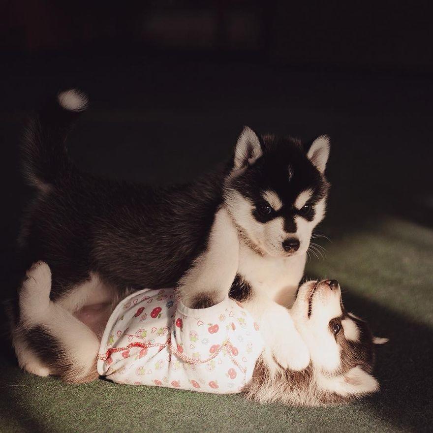 Husky (8)
