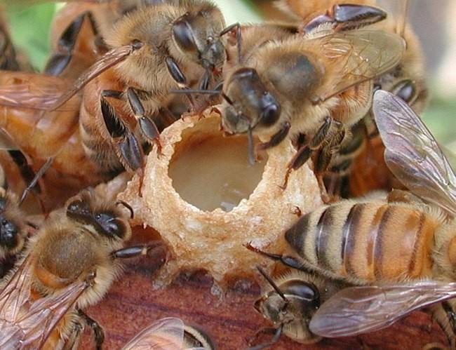 Arısüdünün faydaları