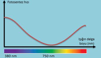 Fotosentez hangi ışıkta en hızlı hangi ışıkta en yavaş gerçekleşir