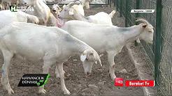 Saanen Keçisi İçin Uygun Çiftlik Kurulumu