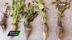 Şeker Pancarı Bitkisinde Dönemsel Hastalıklar