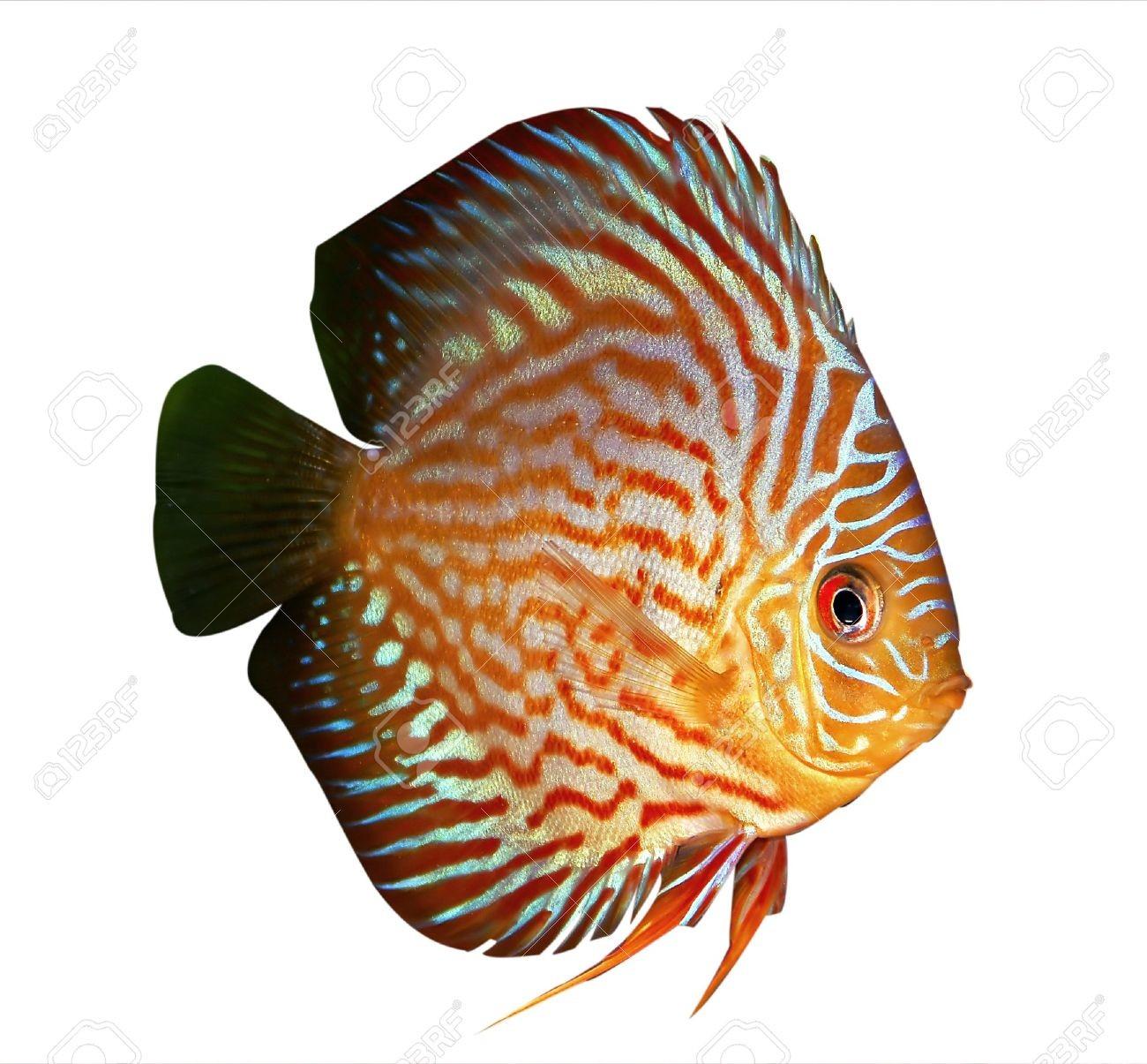 2269092 Symphysodon Discus Fish On A White Background Stock Photo