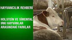 Holstein ve Simental Irkı Arasındaki Farklar