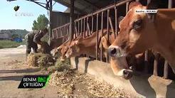 Jersey Irkı Sığır Yetiştiriciliği