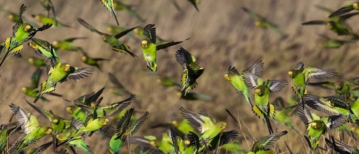 muhabbet kuşlarında beslenme ve bakım