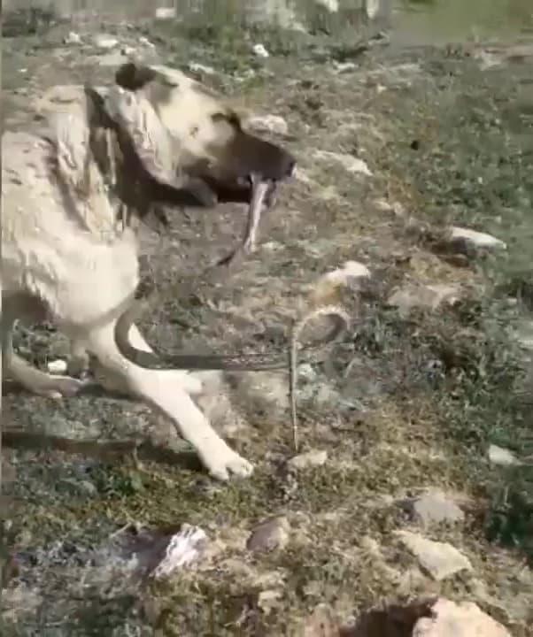 kangal-kopekleri-yilanla-vs-yaparsa