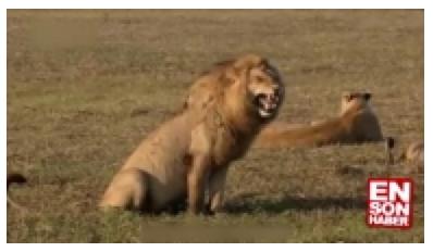 Aslan'a yapılan dublaj güldürdü
