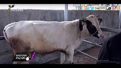 2019 Holstein Kırması Erkek Dana Fiyatı