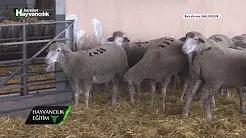 Kızgınlık Döneminde Koyunları Nasıl Beslemeliyiz?